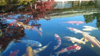A photo of the colored carp in the pond in the Japanese Annex. The brightly colored carp swim elegantly in shades of red, white, gold, and other colors.