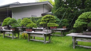 A photo of the bonsai trees at the Japanese Annex. Japanese white pine and black pine bonsai are carefully tended here.