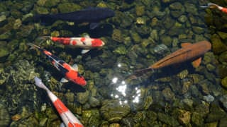 A photo taken directly above the colored carp in the pond. Fish swim elegantly in shades of red, white, black, and other colors.